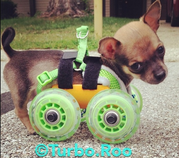 Niepełnosprawny piesek Chihuahua dostał wydrukowany wózek
